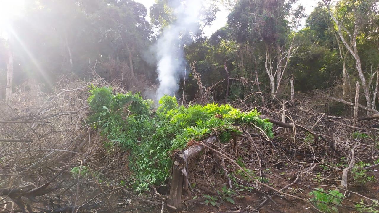 Varias hectáreas de marihuana fueron destruidas en Vaquería