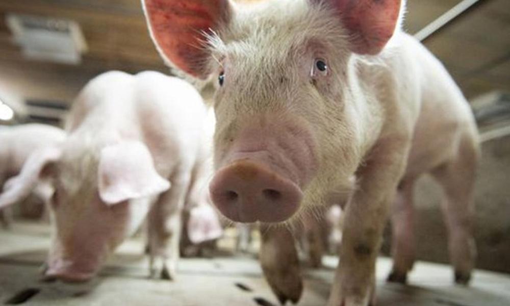 Alerta en Brasil por una nueva gripe porcina que se transmite a los humanos y tiene capacidad de generar una pandemia