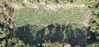 Durante operativo destruyen 10 toneladas de marihuana en R.I 3 Corrales